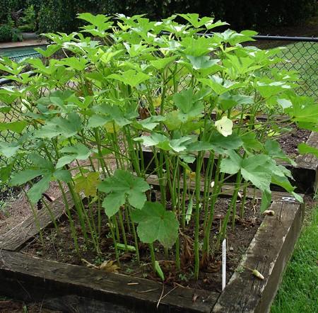 10-Easy-Things-to-Grow-okra-raised-bed-