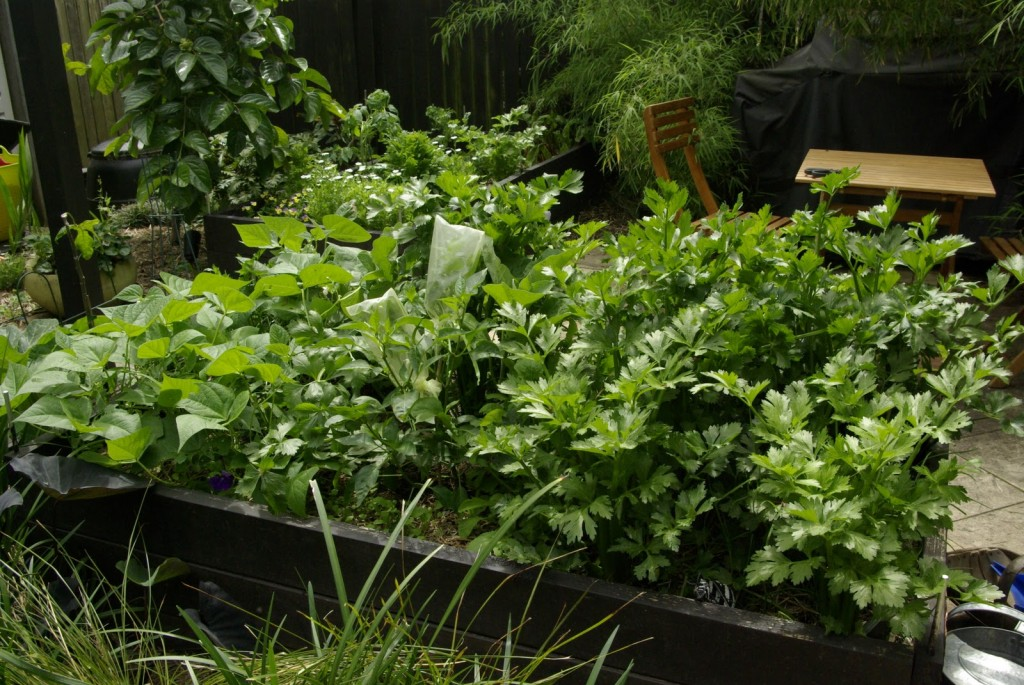 10-Easy-Things-to-Grow-celery