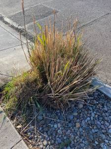 ***Free*** as the name 1 Karl Foerster plant and 4 Pampas Grass plants