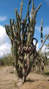 Dracaena plants for free Cuttings from cornstalks