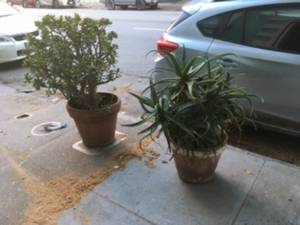 curbside succulents for free