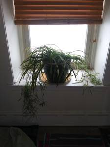 Spider plants cuttings
