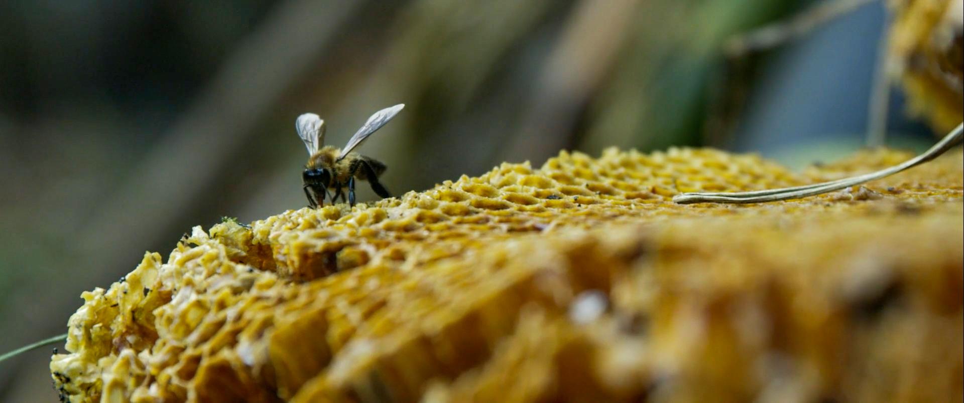The Last Honey Hunter