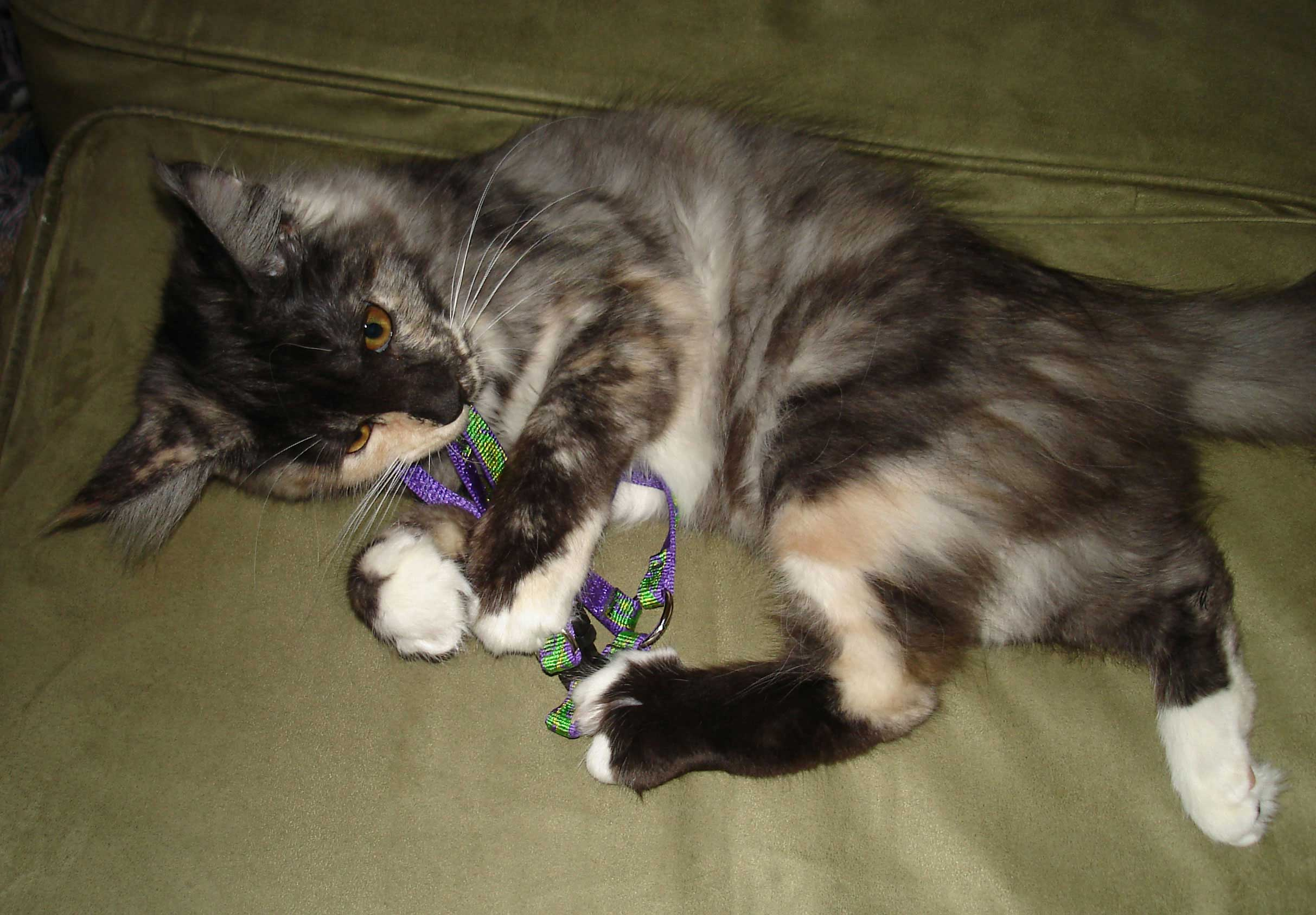 Maine coon kitten Madrigal at play
