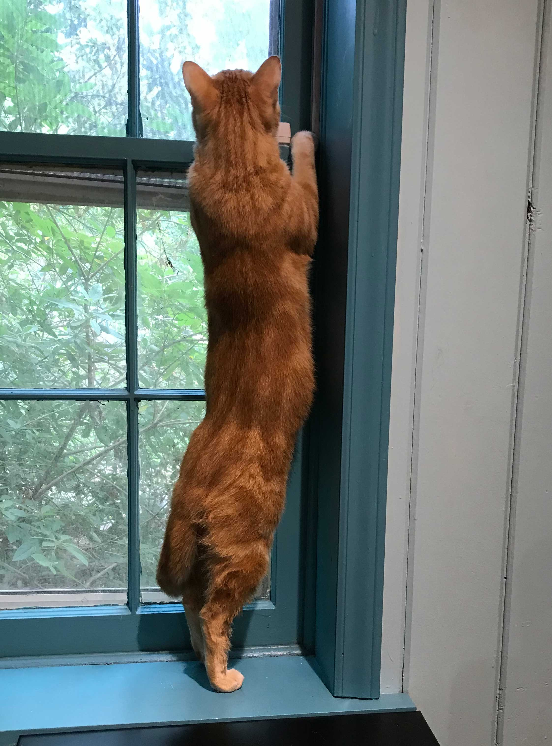 Short haired red classic tabby cat stretching at the window to watch the birds.
