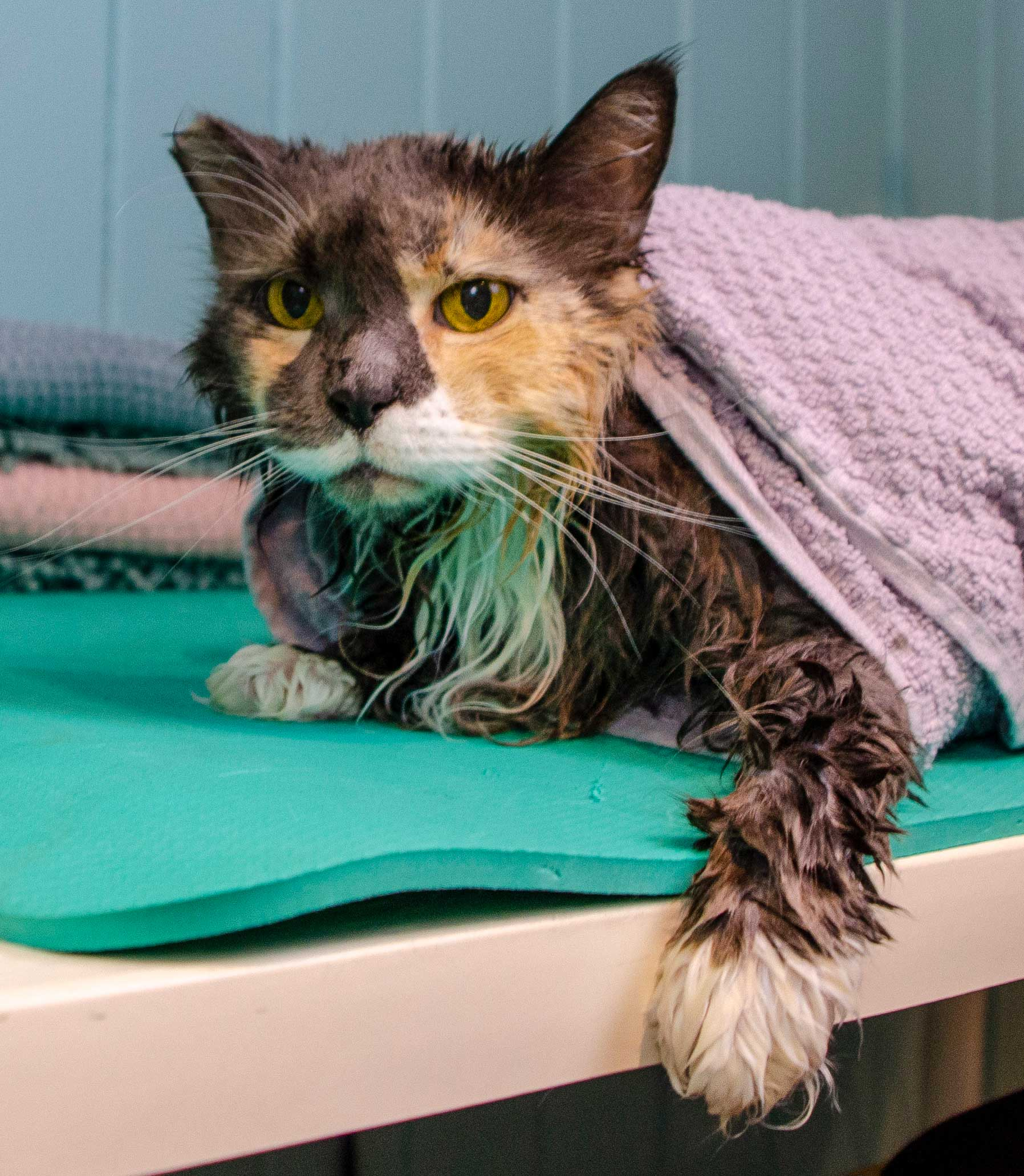 Maine coon cat Cadi wrapped in a towel after her bath.