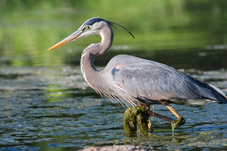 Bird watching is great in the Leech Lake area, as shown by this majestic heron.