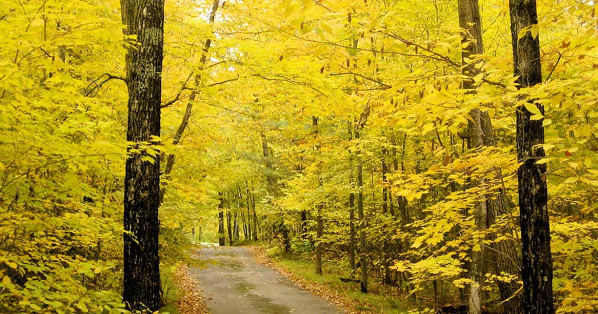 Road through the forest in autumn with many yellow leaves on the trees
