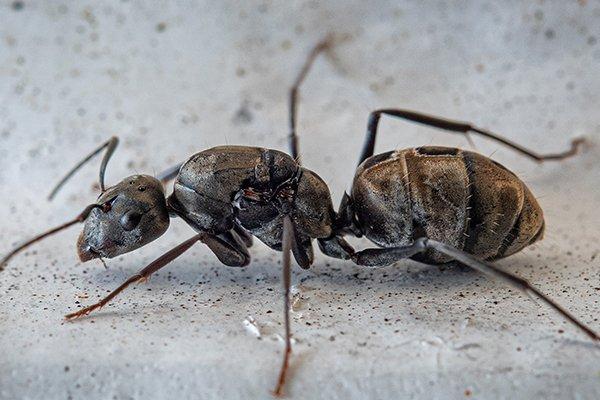 carpenter ant on the basement floor