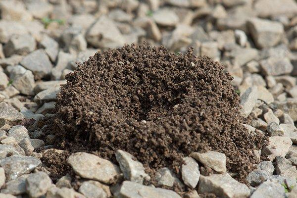 ants nest in crushed stone