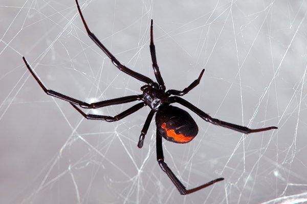 a black widow spider in a houe window