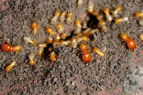 a termite infestation in home