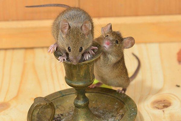 mice crawling on a candle stick