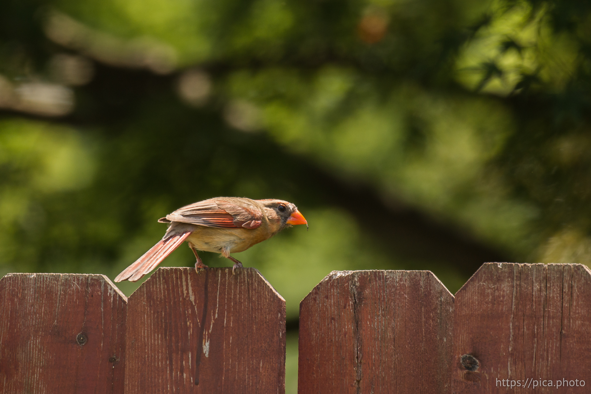 Cardinal sitting on fence, looking back