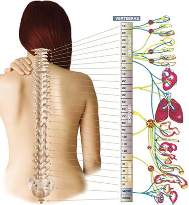 columna vertebral y órganos