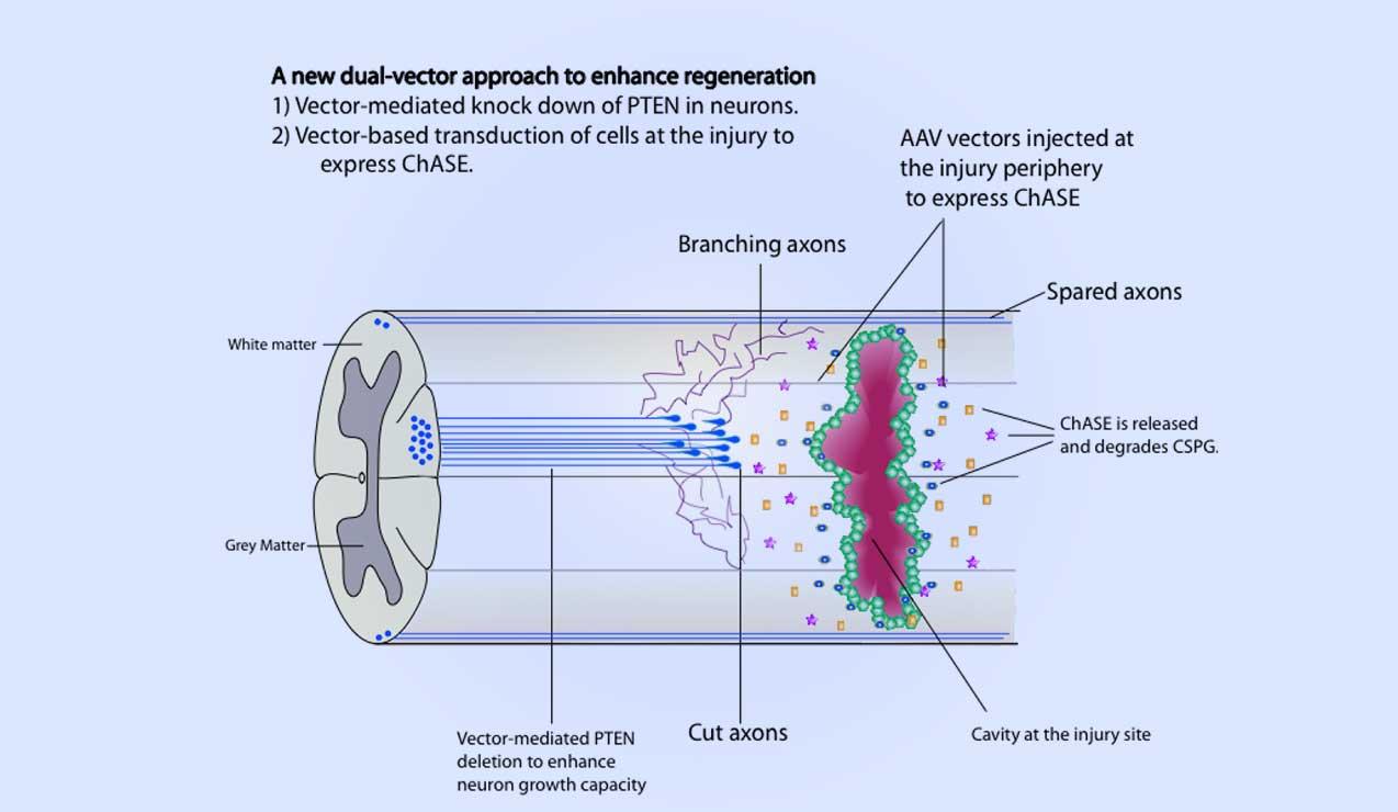 Anatomy 101: Viral vector combination to enable regeneration