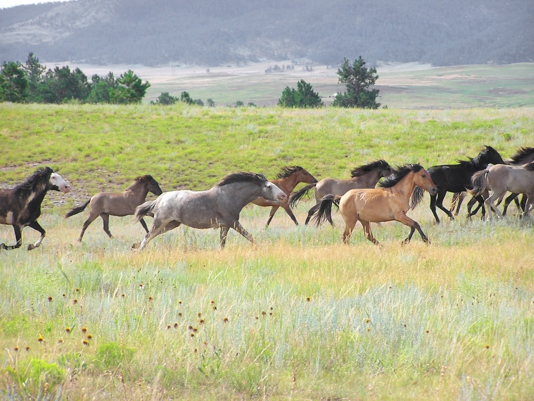 Western Heritage: The Spanish Mustang