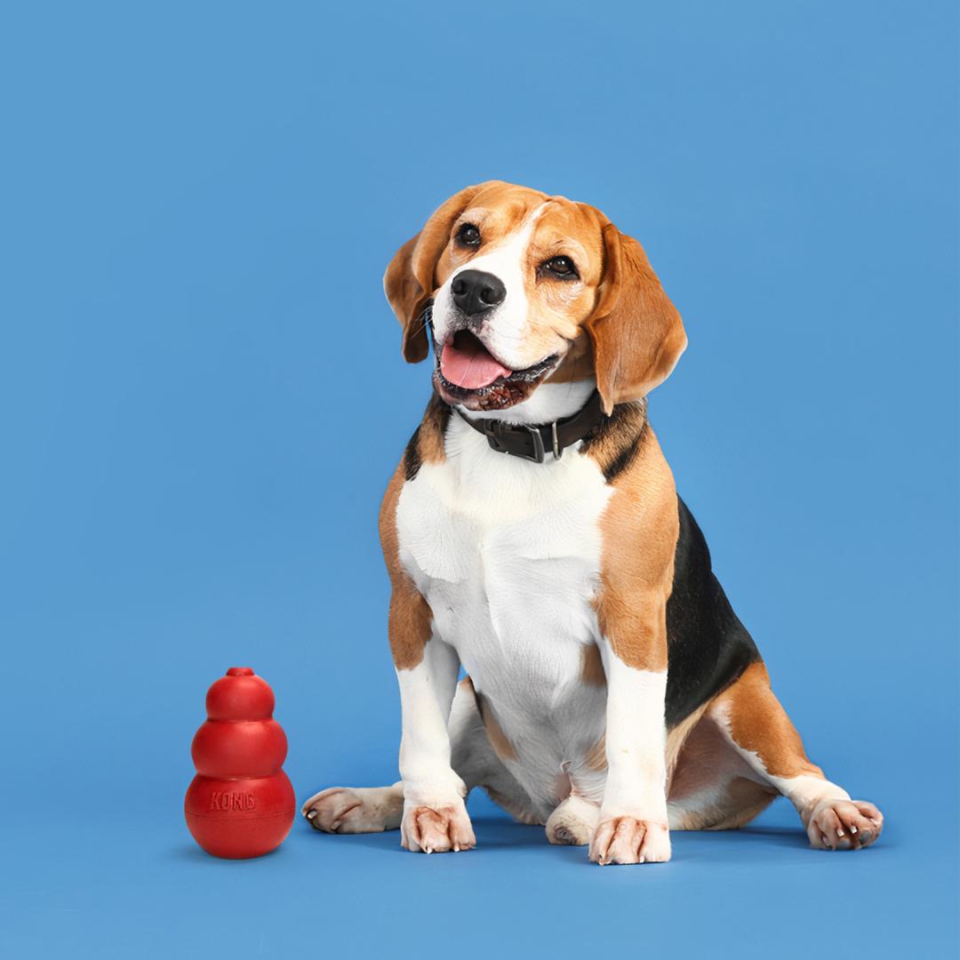 Rover the Beagle
