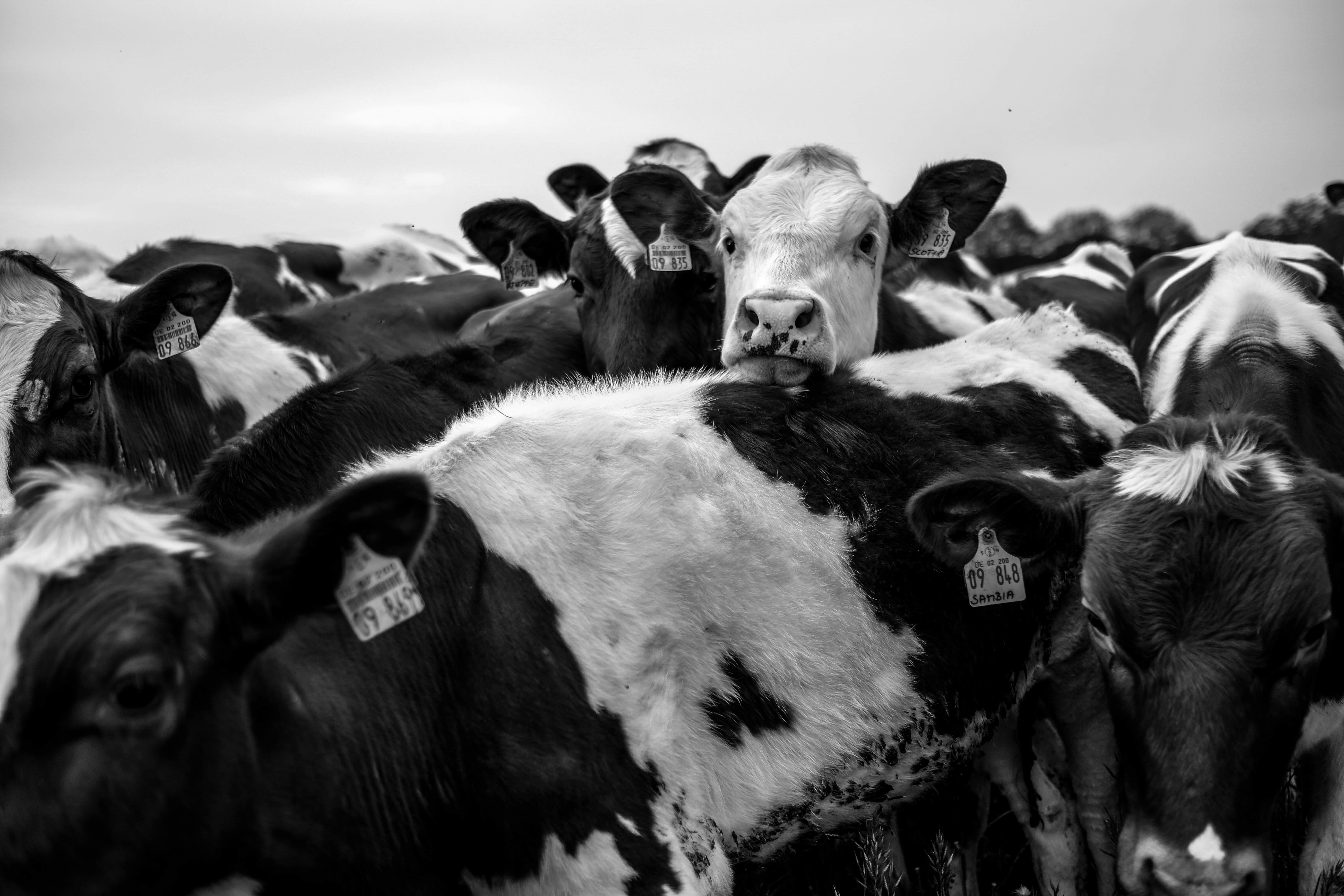 Cows for leather