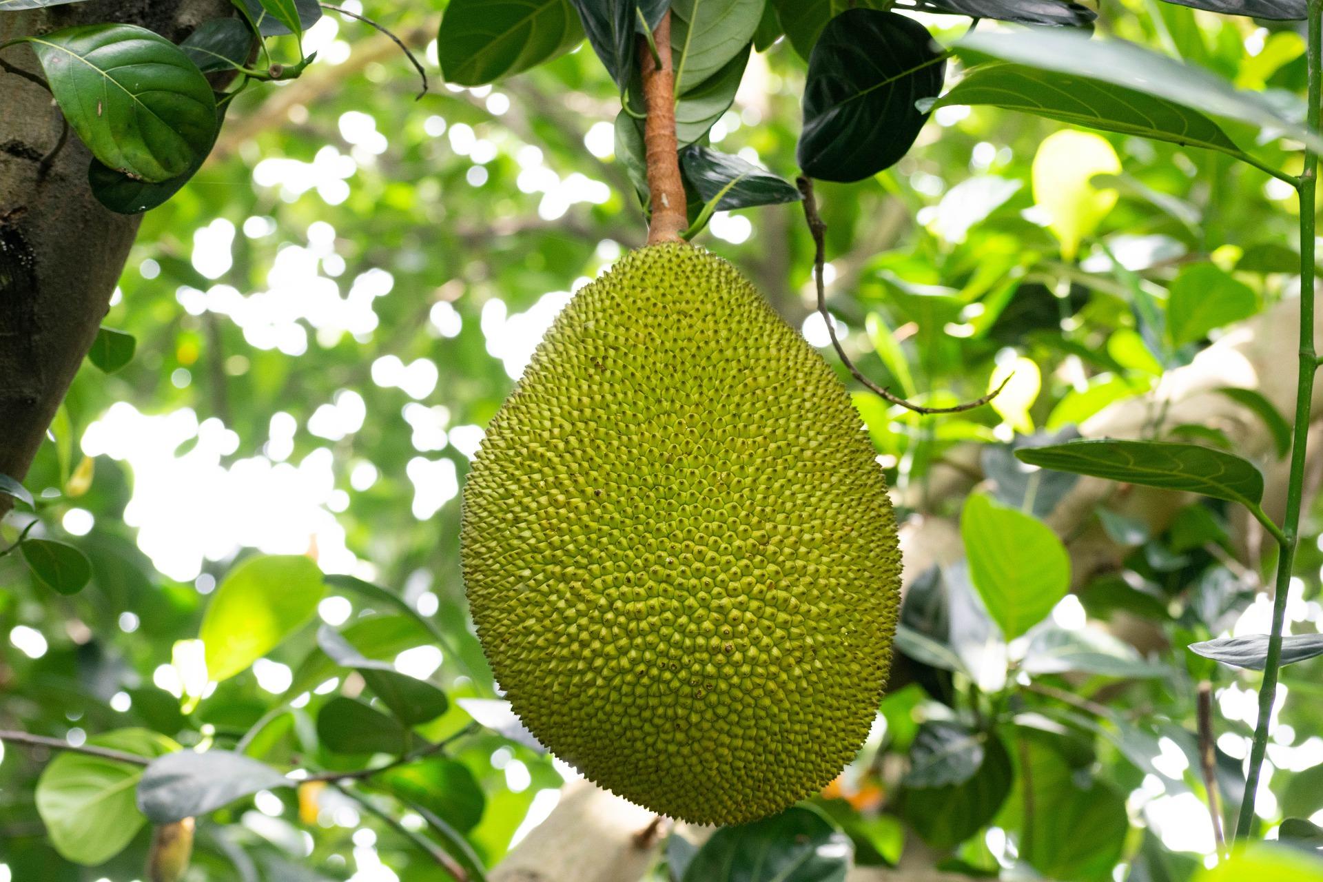 Jackfruit Startup