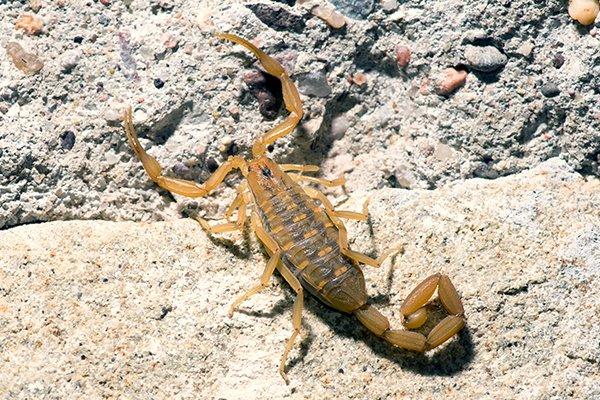 brown bark scorpion