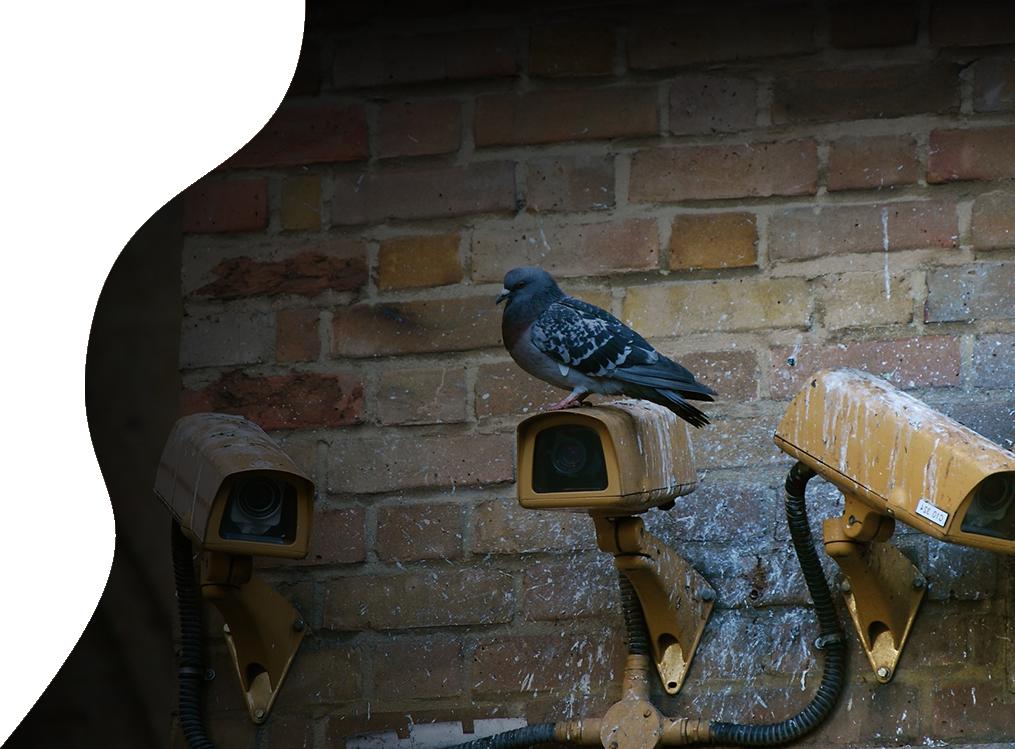 pigeon top