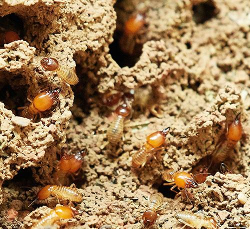 termite circle