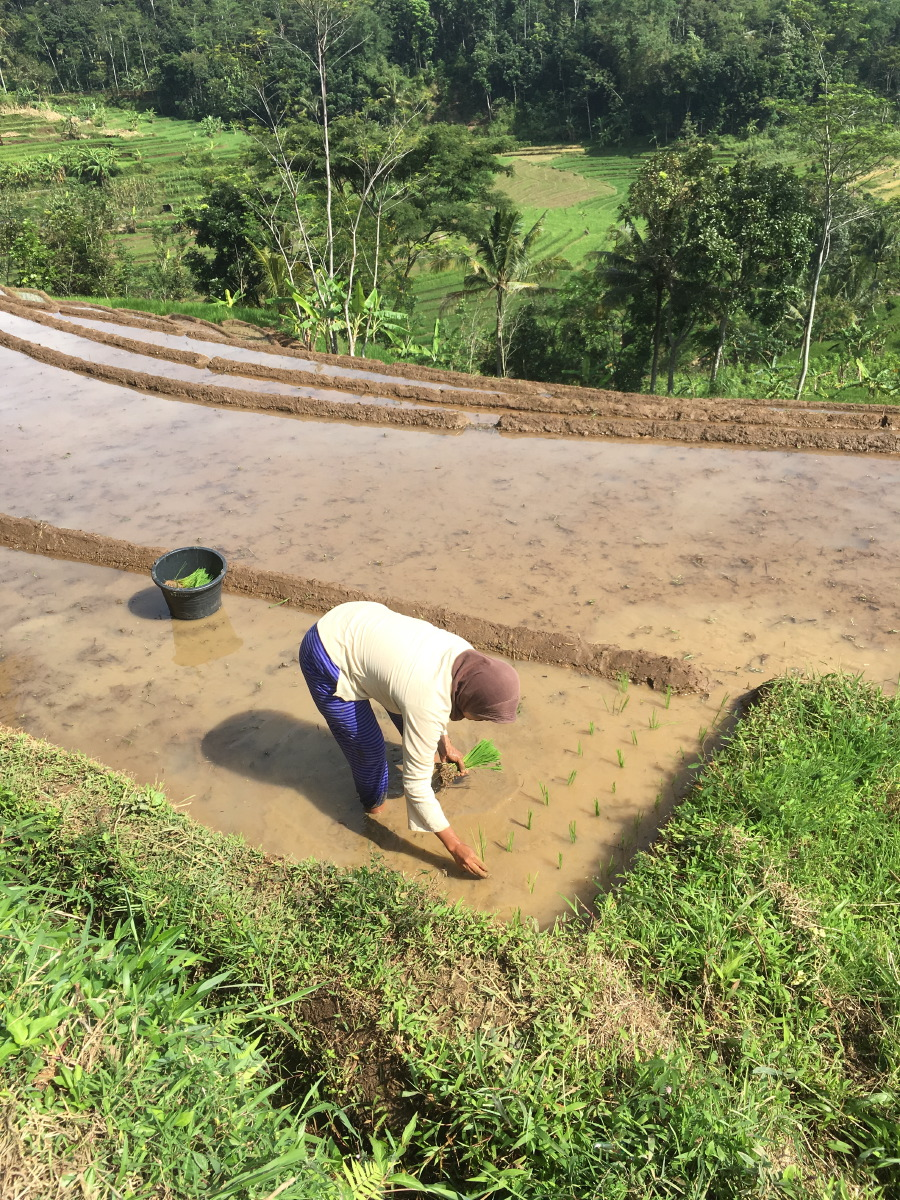 Planting new rice plants by hand.