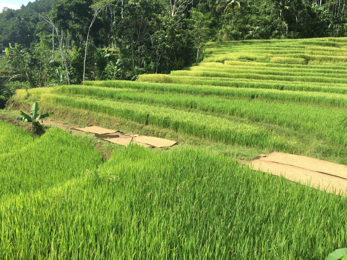 Full grown rice paddies