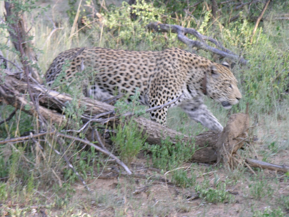 We followed this leopard for a while in our open jeep, but it was difficult to get a clear shot because of all the bushes. This was our best attempt.
