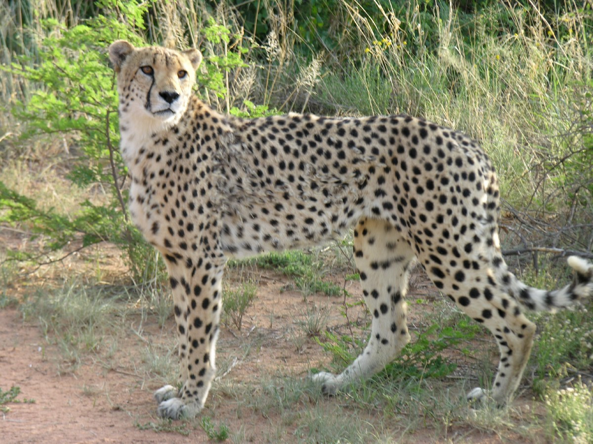 The Africat Foundation was founded in 1991 and officially registered as a non-profit organisation in August 1993.