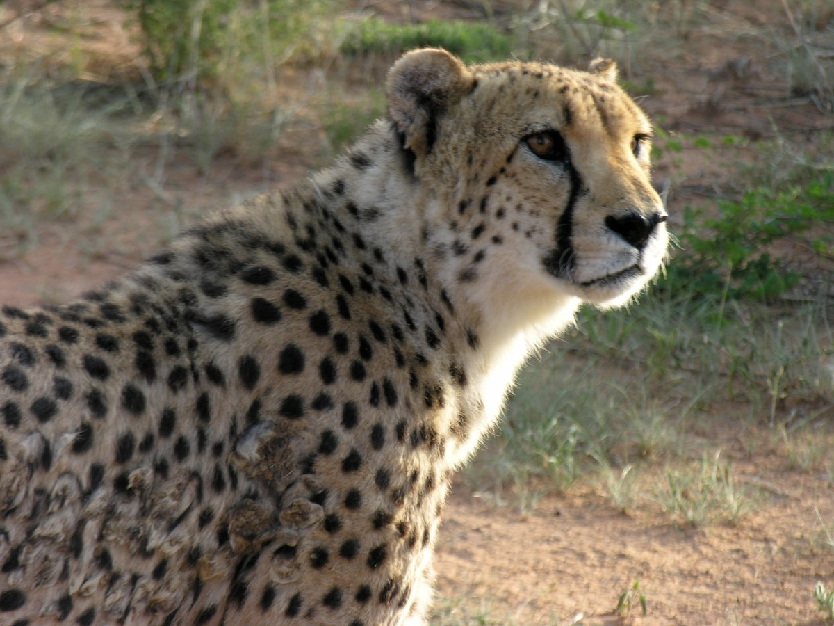 Africat tries to set a precedent when it comes to providing a healthy living environment for large carnivores in captivity, which is fundamental to minimising illness and injuries.