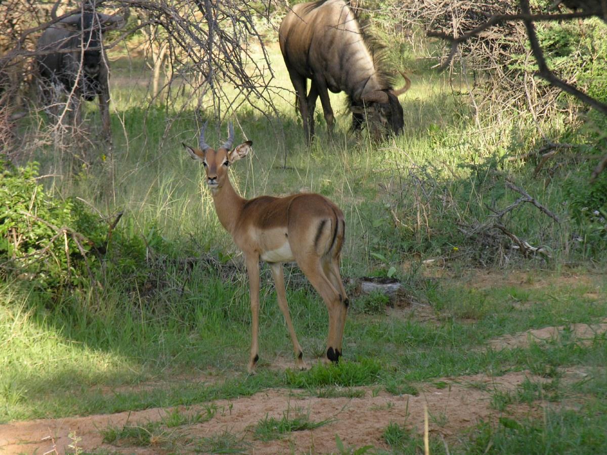 Springbok and wildebeast
