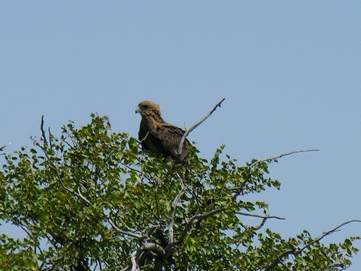 Bird of prey perched high up in a tree