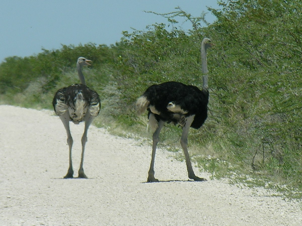 Ostrich with its young