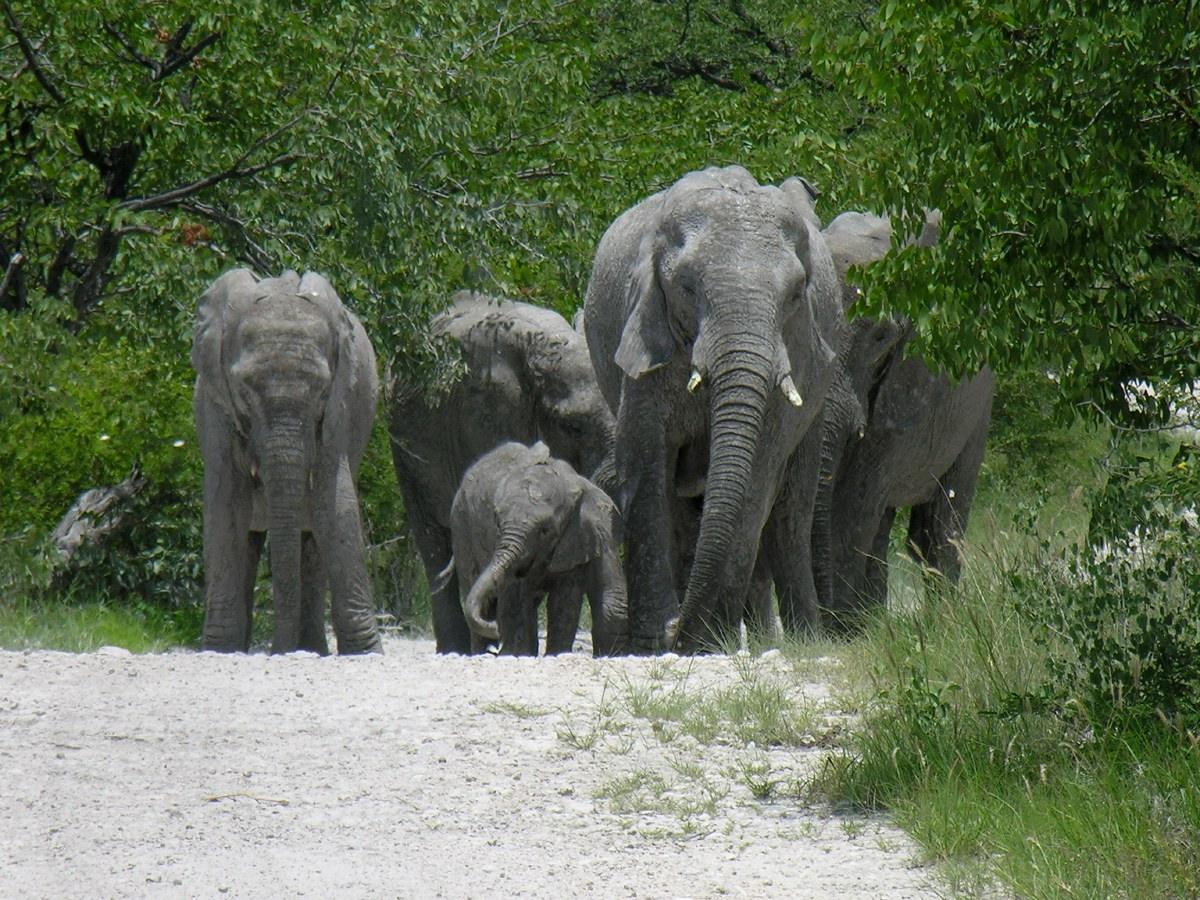 Hurd of elephants
