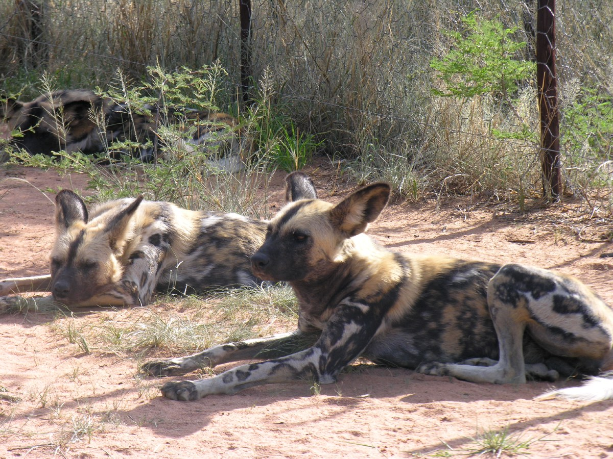 They are listed as endangered by the World Conservation Union (IUCN). Only about 5,000 dogs can be found in the whole of Africa.