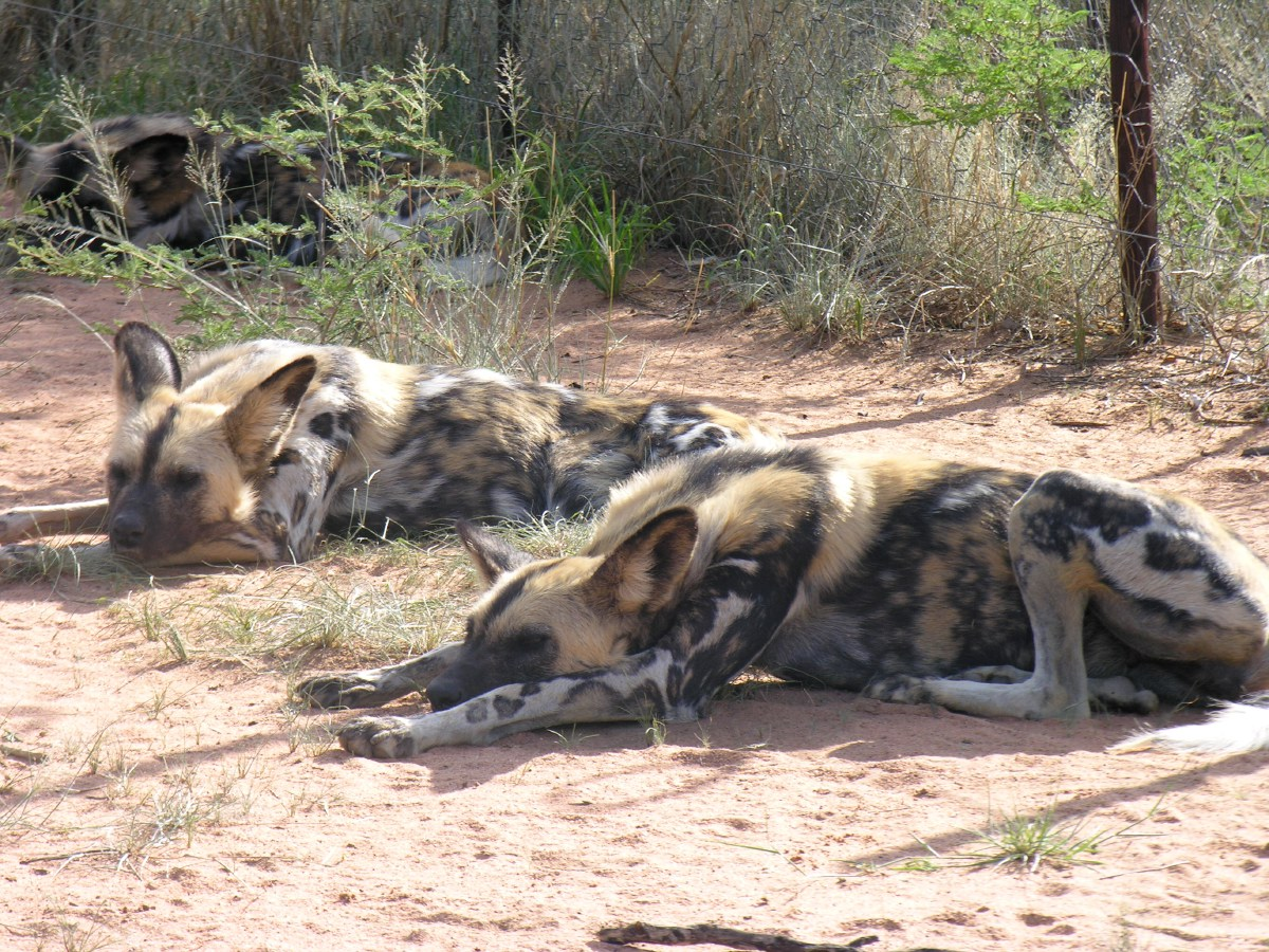 The African wild dog - also called the painted wolf or the Cape hunting dog - is the victim mainly of human persecution