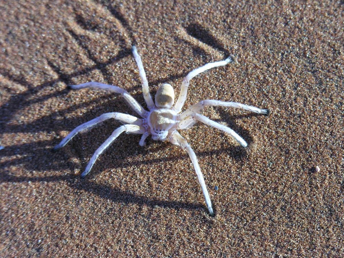 White sand spider