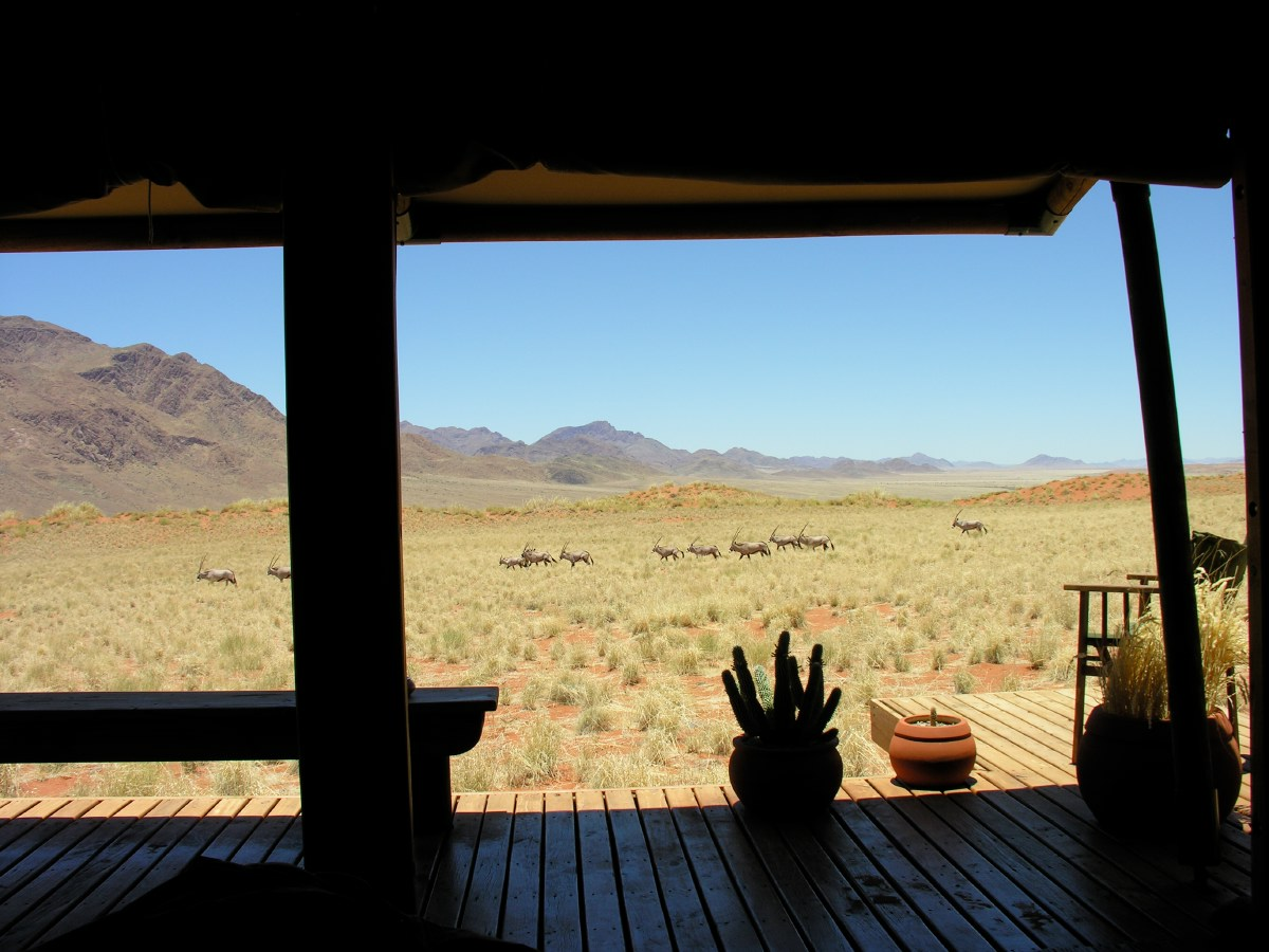 A flock of oryx (gemsbok) passes our tent