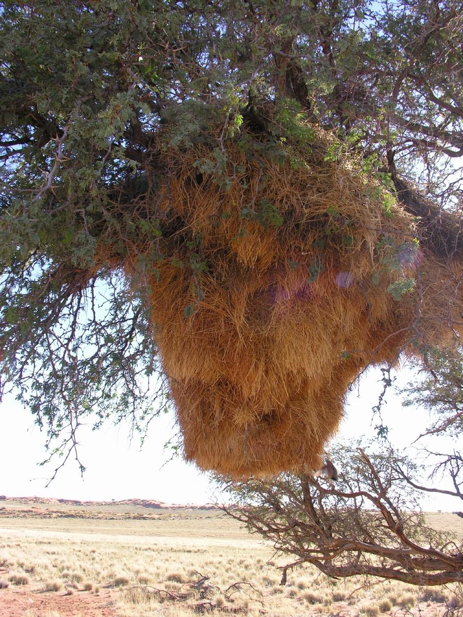 Nest of the sociable weaver