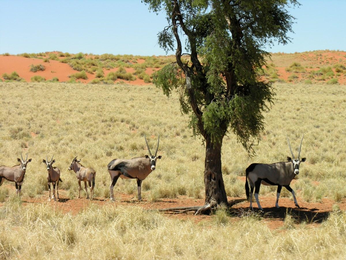 Oryx family