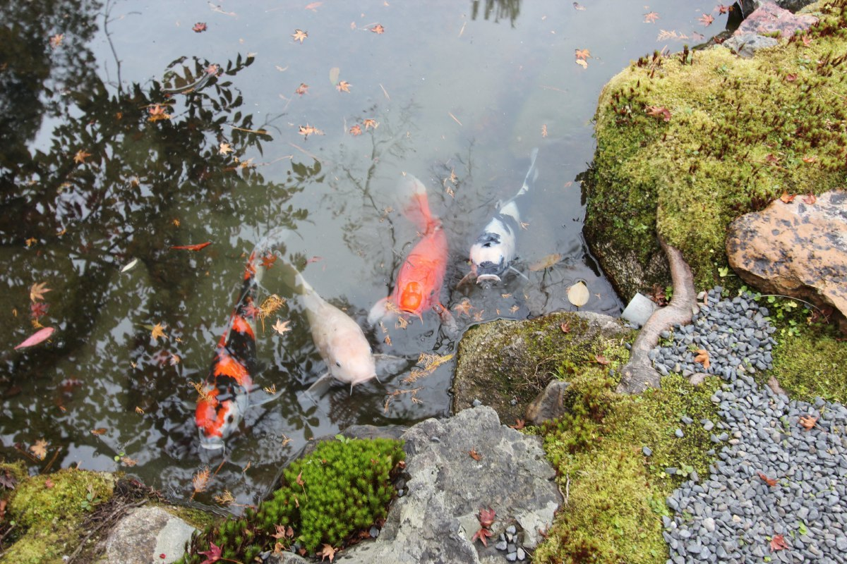 These precious guppies are in every temple pond