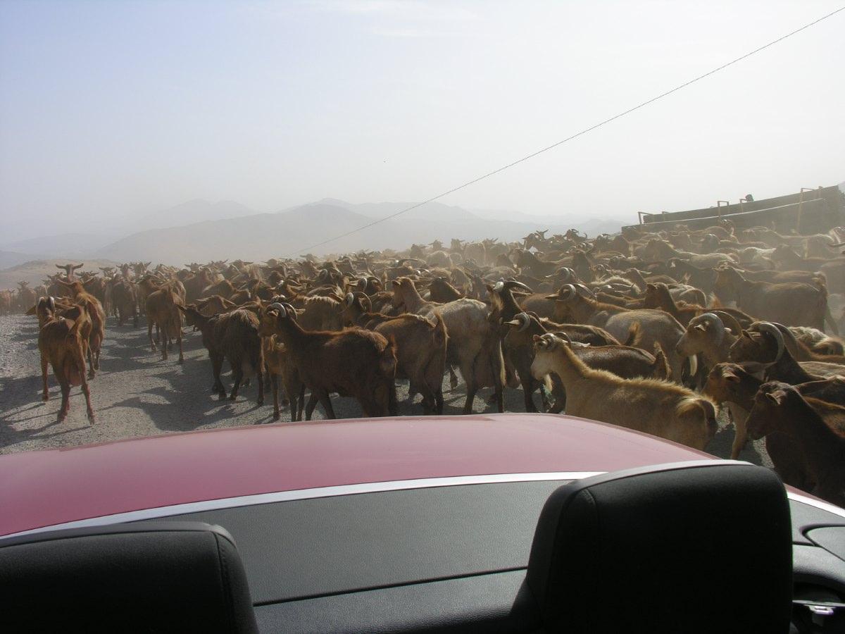 Lots of goats