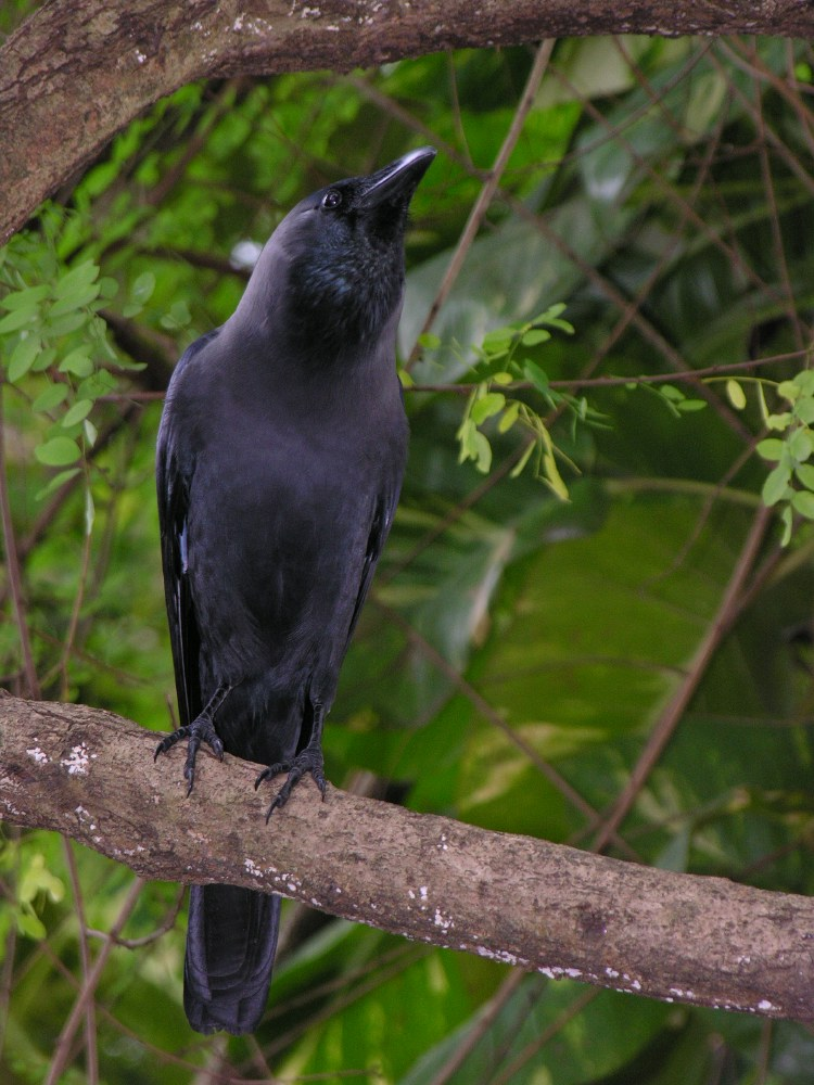 Singalese crow