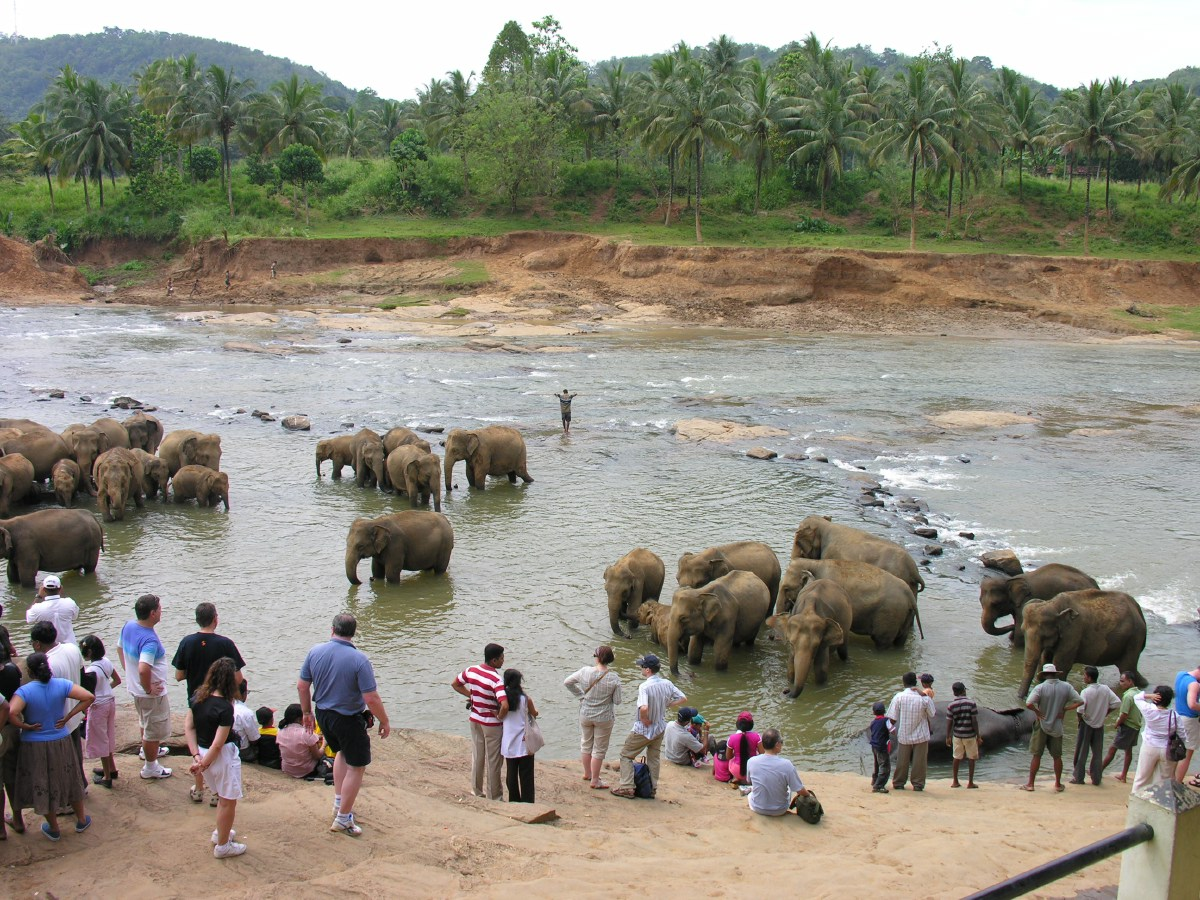 Deserted or wounded elephants are raised and trained in the Pinnawela Elephant Orphanage to be employed as future working elephants.