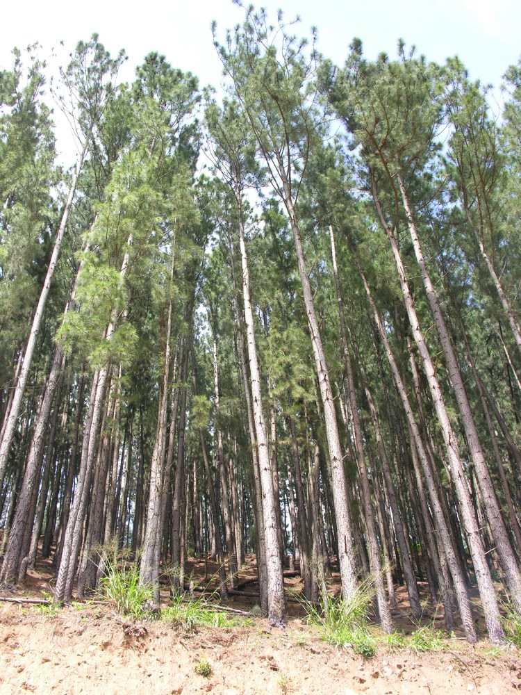 Singalese forest