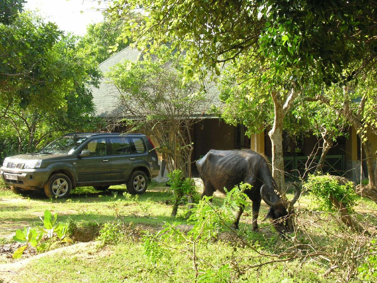 The buffalo happily graze among the bungalows.