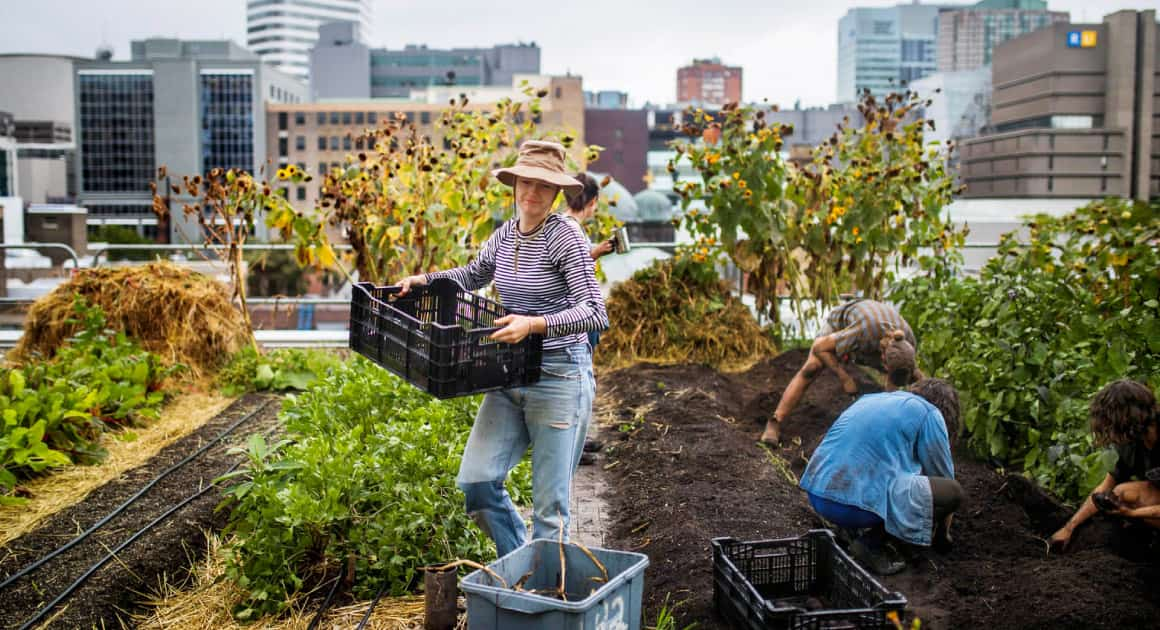 people working in an urban rooftop farm at Ryerson
