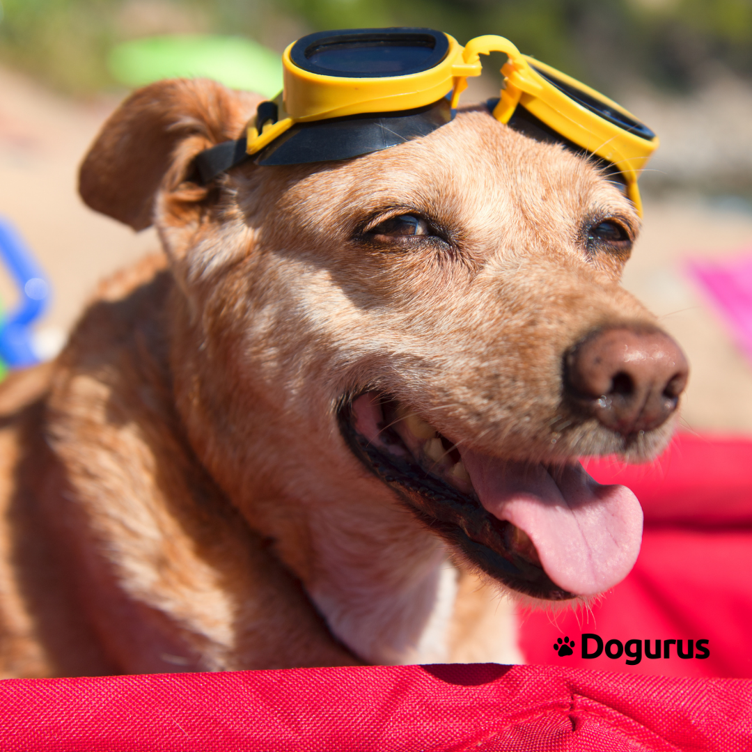 Dog at the beach with goggles